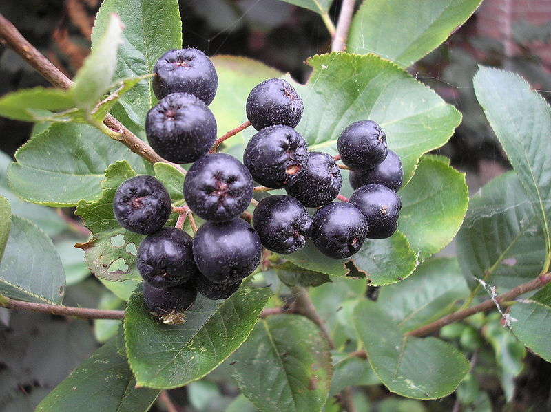 Can Aronia Berry Extract Help Regulate Blood Glucose?
