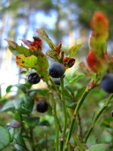 Bilberries: A Rare Treat