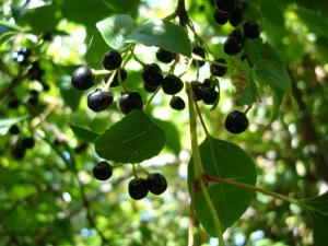 What Is The Maqui Berry?