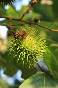 Learn More About The Rambutan Tree