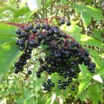 Elderberry Week – Basic Elderberry Information