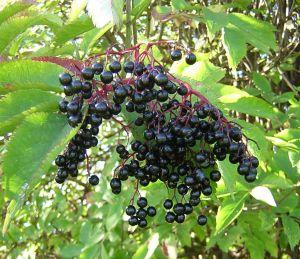 Description of Elderberry