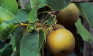 Benefits Of The Asian Pear