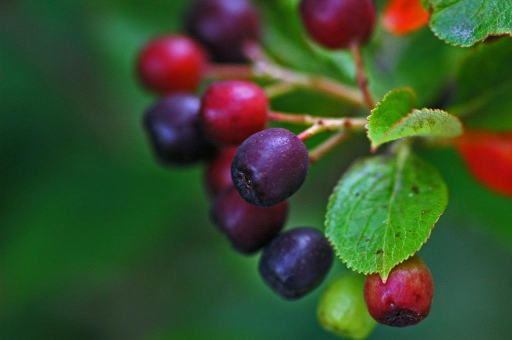 Health Benefits of the Aronia Berry