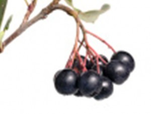 Aronia Berries to the Rescue
