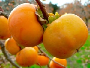 Persimmon: Beyond the Pacific
