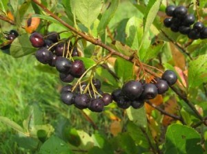 Aronia Berry and How It Works Against Cancer