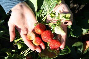 Fruit Farms in California