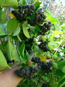 Aronia – More Than Just a Pretty Berry