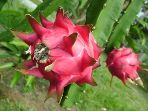 How To Grow Dragon Fruit Plant in 5 Steps