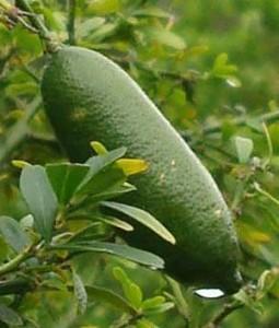 The Tasty Finger Lime