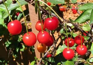 Morello Cherries on the vine