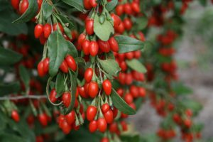 How to Grow Goji Berry Wolfberry