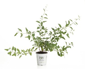 Getting Your Own Goji Berry Plant