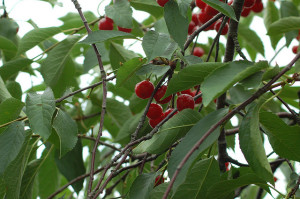 Antioxidants in Tart Cherries