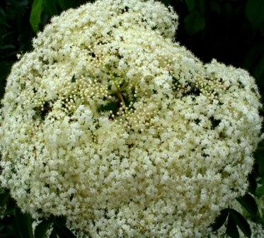 Closeup of Elderberry Flower Head by Jim Baker