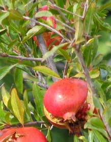 "Pomegranit (spelled, ""Pomegranate"")"