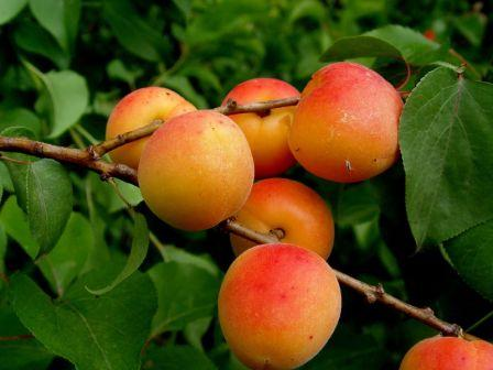 Red Apricots by Arety