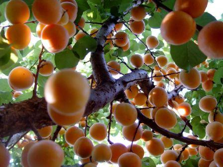 Apricot Tree by Arety