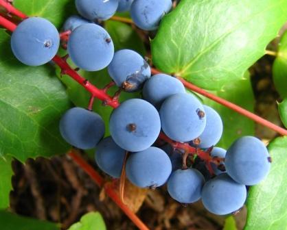 Oregon Grapes by Alex Skelly