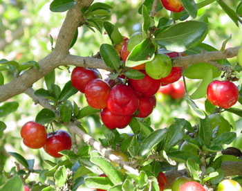 Acerola Cherry – Acerola Cherry Health Benefits