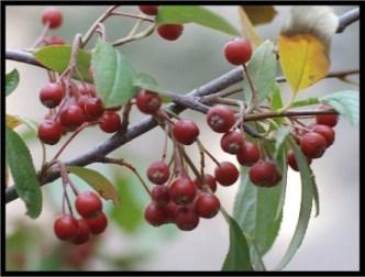 Aronia Berries by Lakeladyjeanne