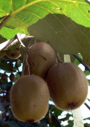 Kiwi Fruit by Purplespace