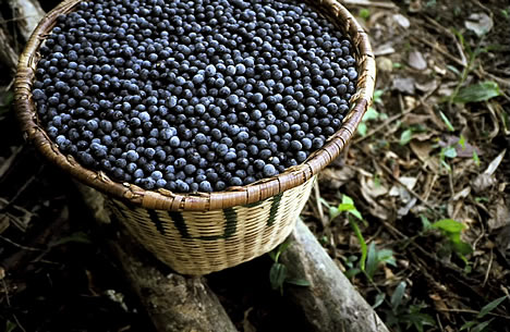 Acai Fruit – An Antioxidant Fighting Machine